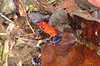 Strawberry Poison Dart Frogs Are Only One Inch Long  - La Selva