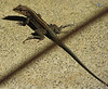 Central American Whiptail - Tail Longer Than The 5 Inch Lizard  - La Selva