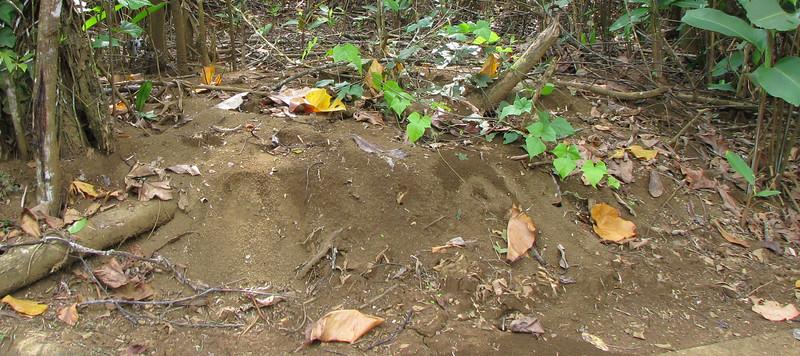 Leaf Cutter Ant Bed  - La Selva