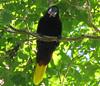 Montezuma Oropendola  - La Selva
