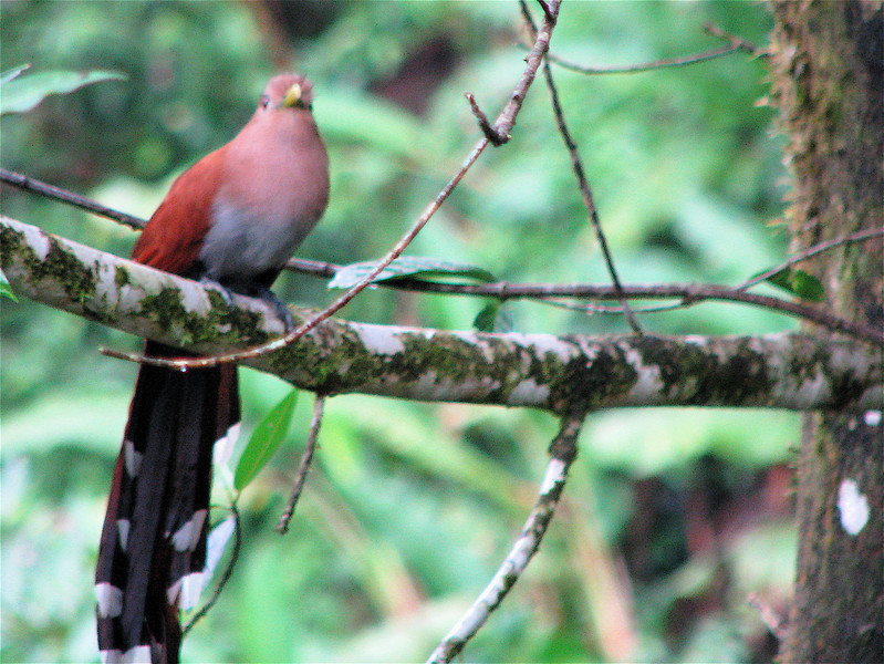 Squirrel Cuckoo  - La Selva<br /> The Squirrel Cuckoo mimics the sound of a human whistle- the 'woop, woooo' that is sometimes made by males in the presence of an attractive female. It has a large repertoire of calls but the one mentioned above is the most common.  (Source: asawright.org)
