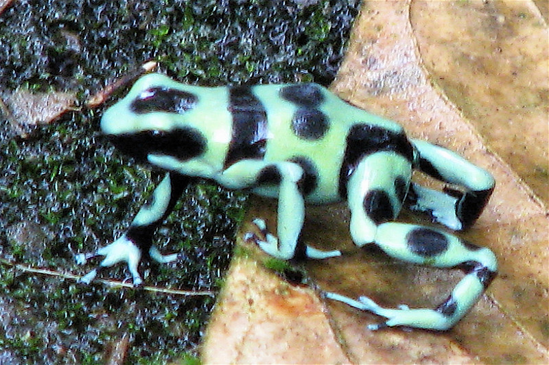 Green and Black Poison Dart Frog  - La Selva