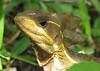 Basilisk Lizard In Sun  - La Selva