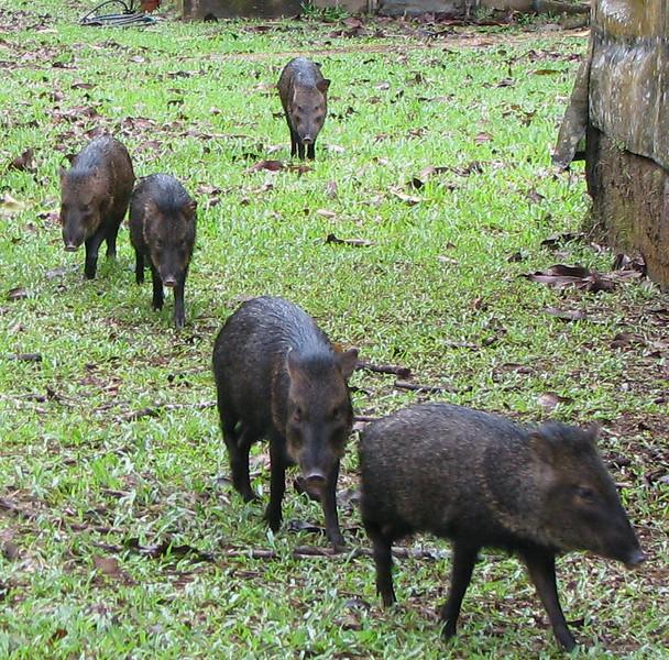 Peccaries In Line Order  - La Selva