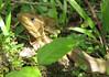 Basilisk Lizard  - La Selva