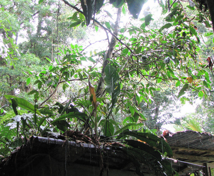 La Selva - Standing In The Doorway During The Downpour Of Rain  Allowed Me To See The Tree Growing On Top Of The Shed