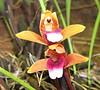La Selva - Orchid