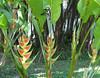 La Selva - Heliconias