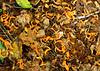 La Selva - Fallen  Poro Gigante Flowers Were Like An Autumn Scene In Virginia