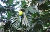La Selva - Fruta de Pan - Moraceae - Artocarpus altilis - Exotic