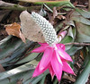 La Selva - Bromeliad - Bright Purple Pink With Gorgeous White Conelike Flower