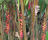 La Selva - Heliconia At Various Stages of Bloom