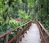 La Selva - Sendero Cacao - SC Trail - Saw White-nosed Coati On Return