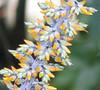 La Selva - Budding Flower Stalk On Bromeliad Alongside Bridge