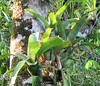 La Selva - Bromeliads Growing On Tree