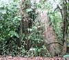 La Selva - SOR Trail - Notice The Sign In Comparison To The Tree