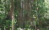 La Selva - Old Growth Rainforest Tree - Notice My Blue Umbrella To Compare Size