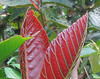 Ls Selva - I Love The Plants That Have Bright Red Young Leaves - Such A Beautiful Contrast To All The Green