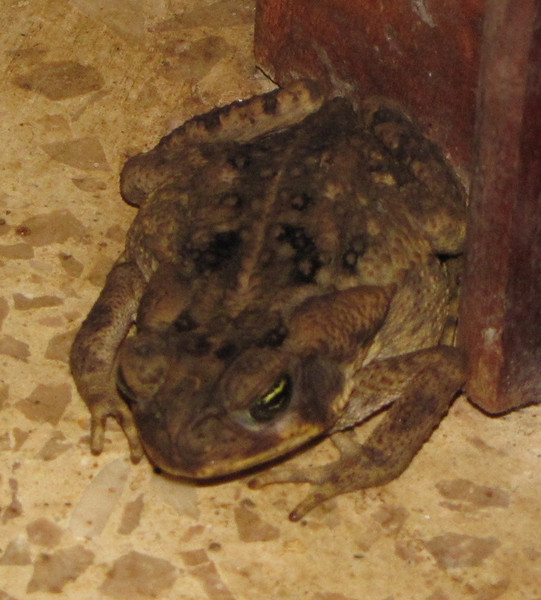 Marine Toad Angel - At My Door First Night - My Bug Patrol - La Selva Biological Station - Costa Rica
