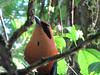 Rufous Motmot Behind My Cabin - La Selva Biological Station, Costa Rica