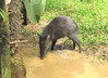Young Peccary in Much Visited Puddle During All the Rain - La Selva Biological Station, Costa Rica