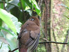 Female Black-throated Trogon - La Selva Biological Station, Costa Rica