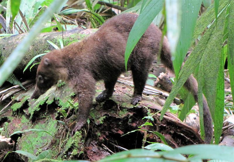 White-nosed Coati - La Selva Biological Station - Costa Rica
