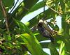 Female Black-cheeked Woodpecker - La Selva Biological Station, Costa Rica