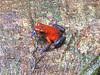 Strawberry Poison Dart Frog - Size of a Dime - La Selva Biological Station, Costa Rica