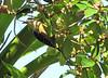 Male Black-cheeked Woodpecker - La Selva Biological Station, Costa Rica