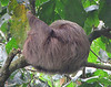 Two-toed Sloth Curled For Sleep - La Selva Biological Station, Costa Rica