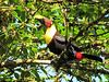 Chestnut-mandibled Toucan In Front of Cabin - La Selva Biological Station, Costa Rica