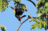 Chestnut-mandibled Toucan Take Off - La Selva Biological Station, Costa Rica