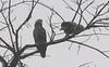 Mealy Parrots - La Selva Biological Station, Costa Rica
