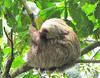 Two-toed Sloth - La Selva Biological Station, Costa Rica