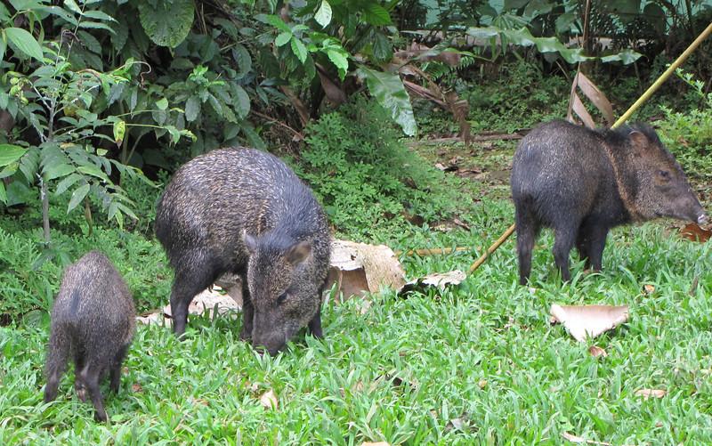 Collared Peccary - La Selva Biological Station - Costa Rica