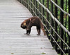 White-nosed Coati on Bridge - La Selva Biological Station - Costa Rica