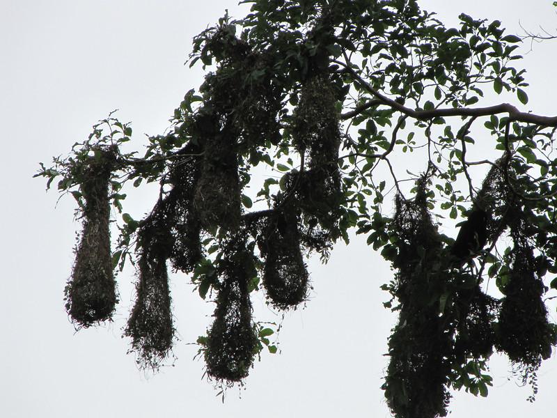 Nests of the Montezuma Oropendula Colony - La Selva Biological Station - Costa Rica