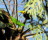 Keel-billed Toucan - La Selva Biological Station, Costa Rica