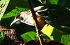 Banded-backed Wren - La Selva Biological Station, Costa Rica