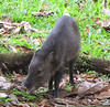 Collared Peccary - La Selva Biological Station - Costa Rica