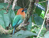 Broad-billed Motmot with Short Tail - La Selva Biological Station, Costa Rica