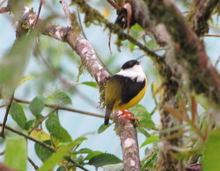 White-collared Manakin - La Selva Biological Station - Costa Rica