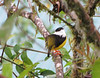 White-collared Manakin - La Selva Biological Station - Costa Rica