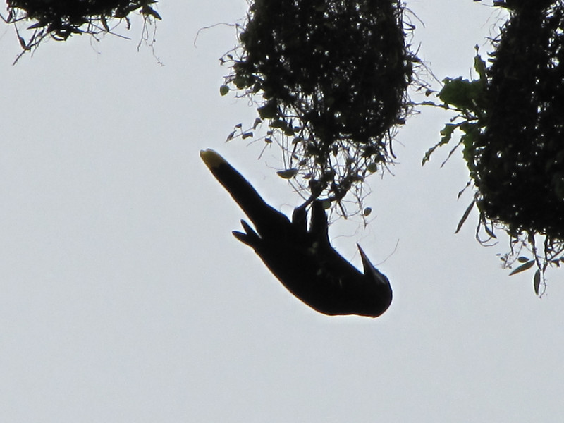 Montezuma Oropendula Weaving Nest - La Selva Biological Station - Costa Rica