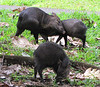 Mama Loving On Baby - Collared Peccary - La Selva Biological Station - Costa Rica