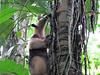 Juvenile Northern Tamandua - La Selva Biological Station, Costa Rica