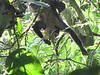 White-faced Capuchin Monkey - La Selva Biological Station, Costa Rica