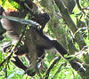White-faced Capuchin Monkey with Baby - La Selva Biological Station, Costa Rica