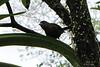 Unknown Bird - La Selva Biological Station, Costa Rica